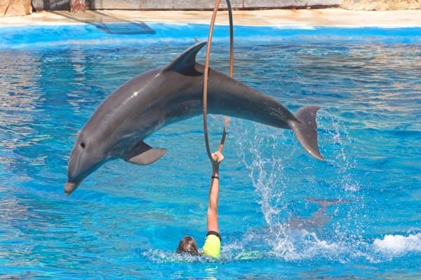 Delfín saltando por el aro en un delfinario