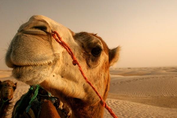 La cara de un camello