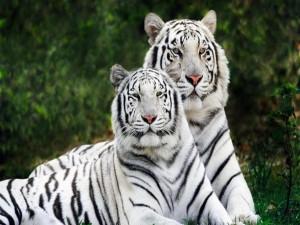 Postal: Dos hermosos tigres blancos