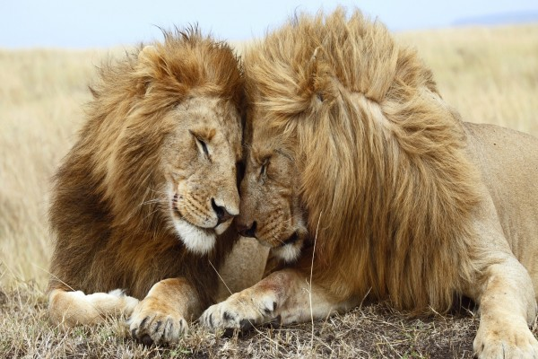 Amistad entre leones
