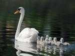 Cisne con los polluelos en el lago