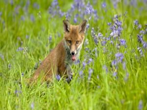 Un zorro entre las flores