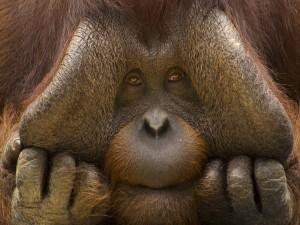 La cara de un orangután