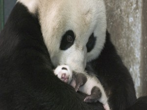 Postal: Mamá panda con su bebé