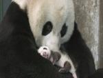 Mamá panda con su bebé