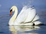 Cisne con gotas de agua en la cabeza