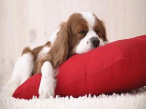 Perro dormido sobre un cojín rojo