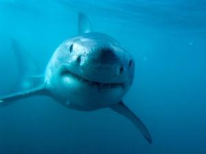 Postal: La cara del tiburón