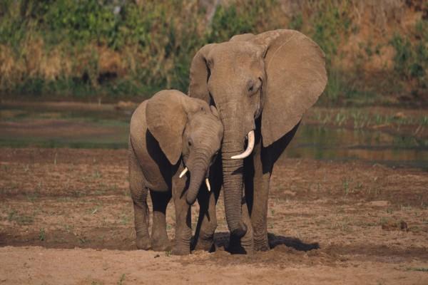 Pequeño elefante con su madre