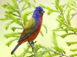 Pájaro de varios colores