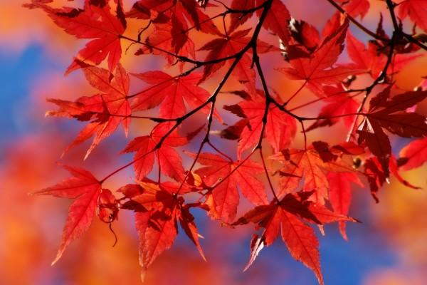 Hojas rojas de un árbol