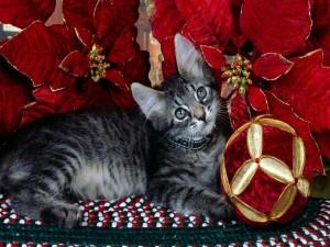 Gato junto a una flor de pascua