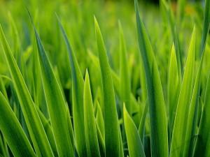 Hierba gruesa y verde