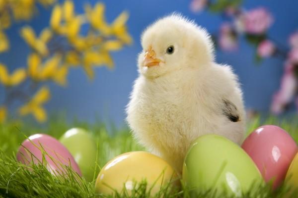 Pollito y huevos de colores