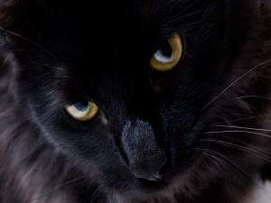 Postal: Gato negro de ojos dorados