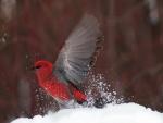 Pájaro rojo en la nieve