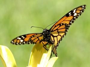 Mariposa sobre un pétalo