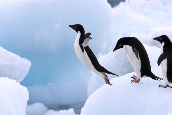 Pingüinos saltando en el hielo
