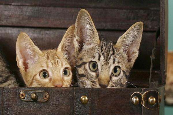 Gatos en un baúl
