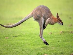 Canguro saltando en la hierba