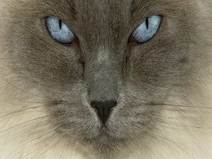 La cara de un gato