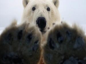 Postal: Las garras y la cabeza de un oso polar