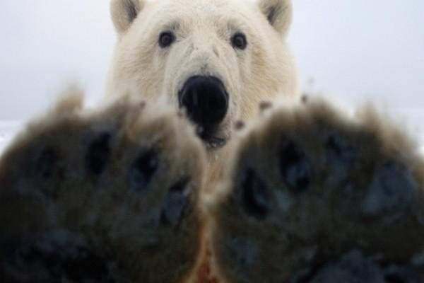 Las garras y la cabeza de un oso polar