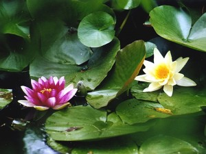 Flores y hojas de nenúfar