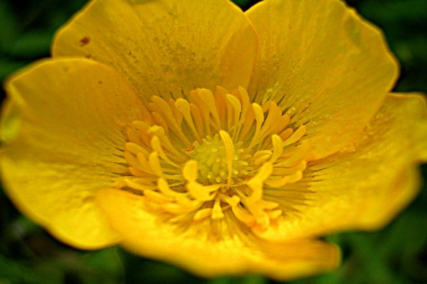 Flor amarilla de pétalos redondeados