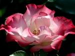 Rosa con los pétalos abiertos