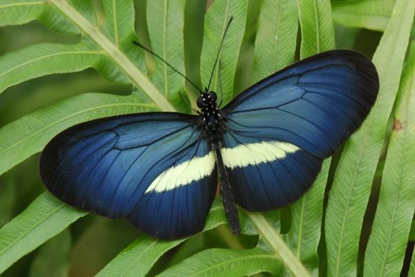 Mariposa azul y blanca posada en una planta
