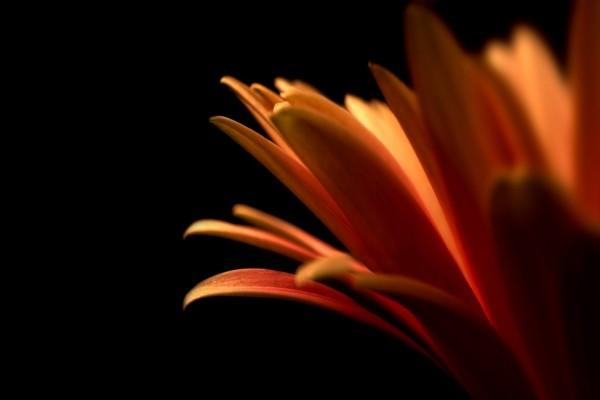 Los pétalos de una flor