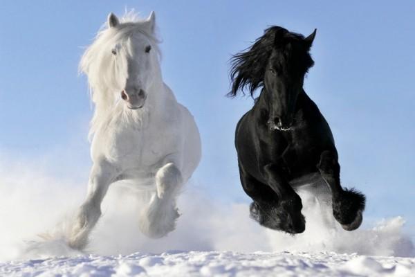 Caballos blanco y negro galopando sobre la nieve