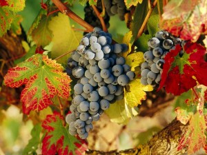 Postal: Uvas negras en la vid