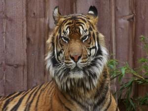 Tigre encerrado en un zoológico