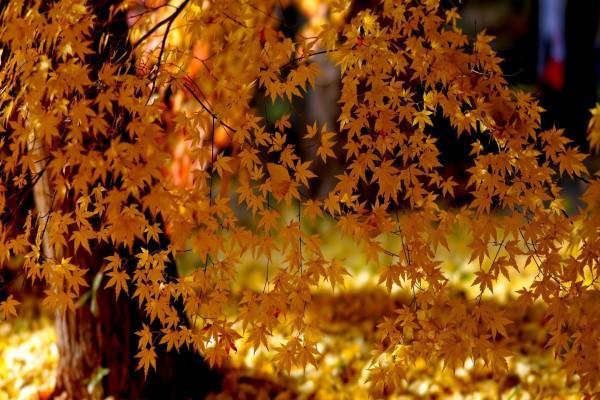 Árbol con hojas amarillas bajo la luz