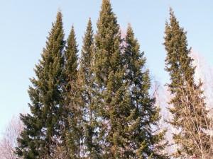 Altos pinos