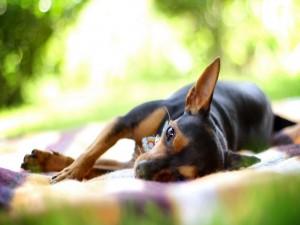 Perro tumbado en una manta