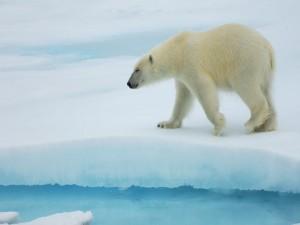 Oso polar caminando por el hielo