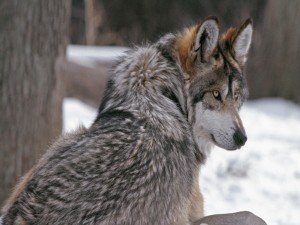 Postal: Lobo solitario
