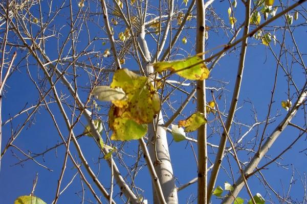 Árbol con pocas hojas a finales del otoño