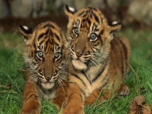Postal: Dos lindos cachorros de tigre