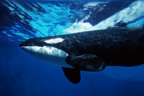 Orca bajo el agua azul