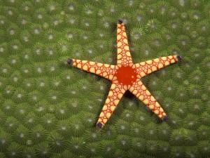 Preciosa estrella de mar