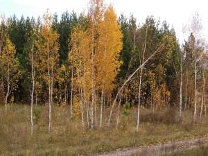 Delgado árbol curvado por el viento