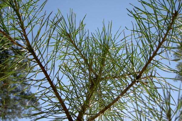 Ramas y agujas de un pino