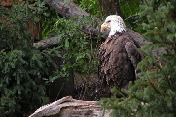 Águila Calva entre la vegetación