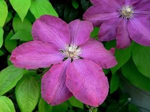 Flores de grandes pétalos