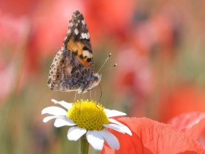 Mariposa y margarita