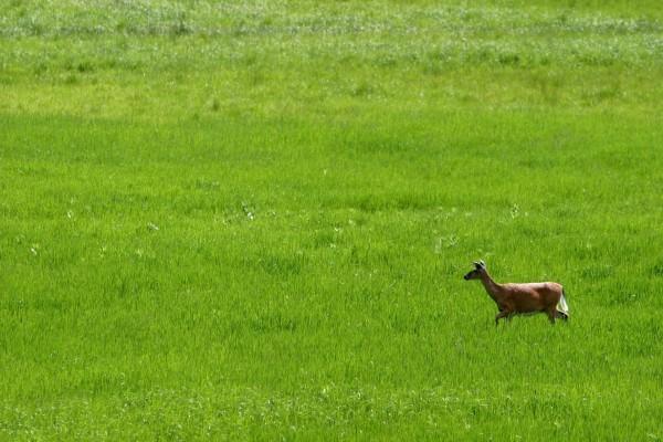Pequeño ciervo corriendo en la hierba